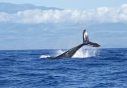 chant des baleines