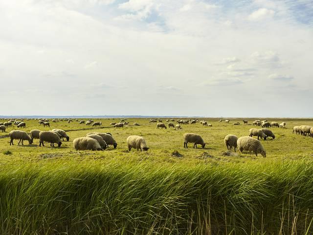 moutons prés salés herbus havre manche