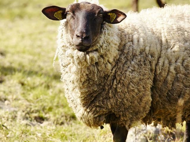 moutons prés-salés