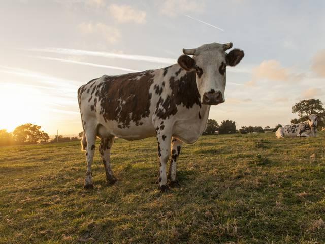 vache normande lait elevage